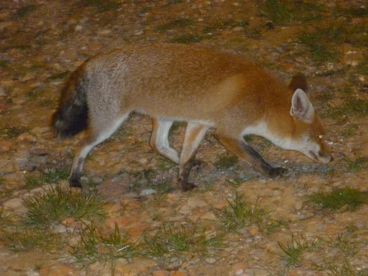 https://www.navamuel.com/images/Animales/Zorro.jpg